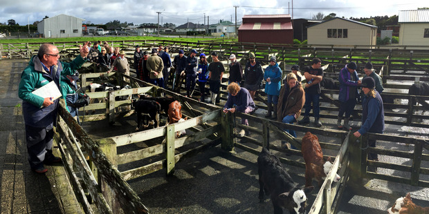 Farmers viewing and buying at the stock sales in Dargaville. Photo / Mark Mitchell