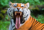 A woman was killed by a tiger that leapt at her after she stepped out of the vehicle. File Photo / AP