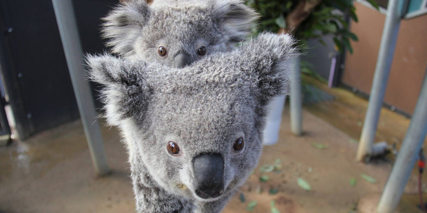Koalas are quite smart according to new study. Photo / Supplied