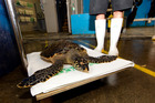 A hawksbill turtle, likely run over by a vehicle, was rushed to Auckland Zoo Vet Centre but died of lung injuries a day later. (Photo not of mentioned turtle).