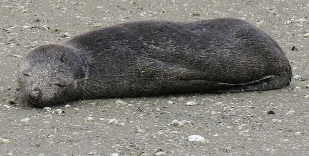 Fur seals (like this pup pictured) can turn up in unexpected places, and it is common for them to lie immobile for long periods of time on beaches and rocks.