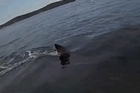 Watch: Huge shark circles Australian kayaker