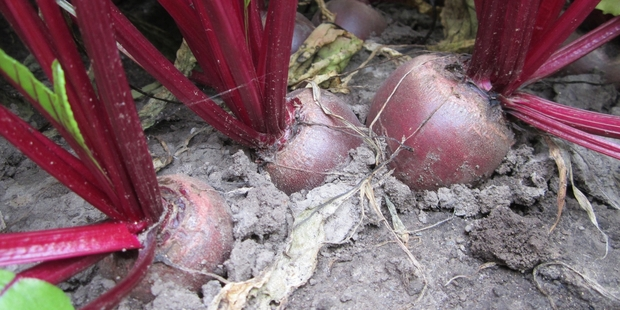 Heinz Wattie's is building a $4 million beetroot storage and grading facility to improve quality control.