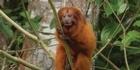 Watch: Watch NZ Herald Focus: The Golden Lion Tamarin in Rio