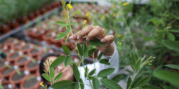 A scientist examines a transgenic pigeon pea plant at the Platform for Translational Research on Transgenic Crops department at ICRISAT in India. Photo / Dhiraj Singh