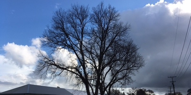 Marton School want to remove these elm trees from its property but Rangitikei councillors deemed them not to be safety risk. Photo/ Zaryd Wilson
