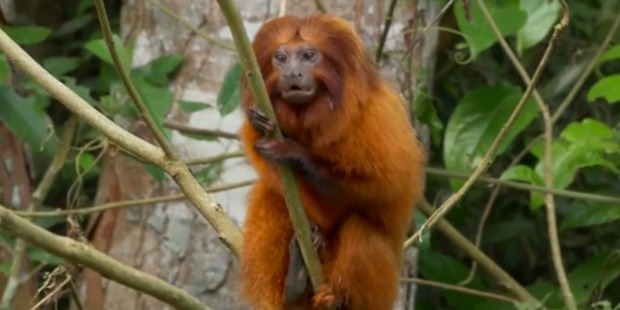 Loading The golden lion tamarin is one of Brazil's most endangered species.
