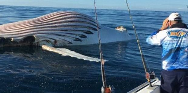 The whale's skin is so stretched it appears to be pink. Photo / via Facebook