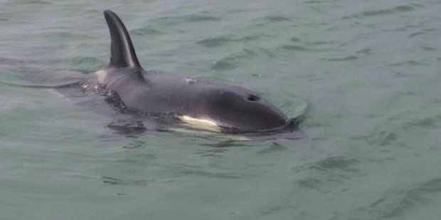 LOST: The orca calf which was separated from its pod in the Bay of Plenty. Photo / Supplied