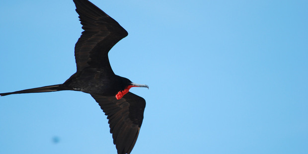The flight data recorder was attached to frigatebirds - large seabirds that fly continuously in search of fish - for ten days, as they flew a distance of 3000 kilometres. Photo / Flickr / Jeff Hart