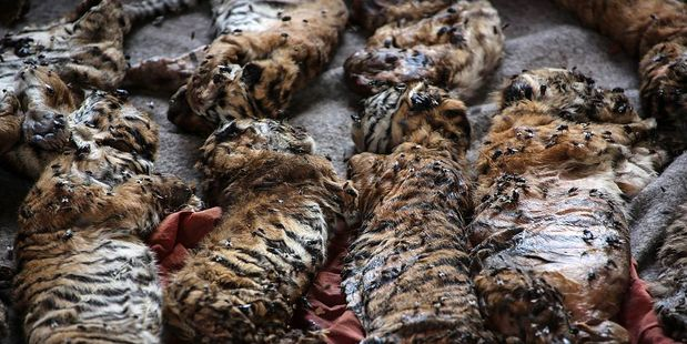 Loading The carcasses of 40 tiger cubs found undeclared are displayed at the Wat Pha Luang Ta Bua Tiger Temple on June 1, 2016. Photo / Getty