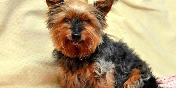 Jack, a 25-year-old Yorkie, was attacked and bitten by a black lakeland terrier near its home on Teeside. Photo / Supplied