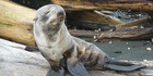 JUST RESTING: Lynne Douglas photographed this seal on a Whanganui beach.