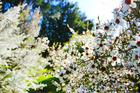 The manuka tree is a bushy shrub with white flowers.