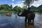 Volunteers and tourists bathe elephants at ElephantsWorld in Thailand. Photo / Supplied
