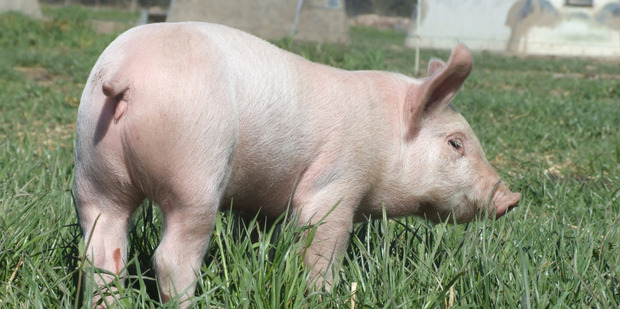 Eight piglets survived after their mother raised the alarm about a fire in their stall. PHOTO/FILE