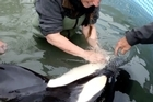We catch up with the baby orca whale known affectionately as 'Bob' as he is kept under the watchful eye of Dr Ingrid Visser and volunteers while on the mend in a pool on the shores of Tauranga Harbour. Video/John Borren