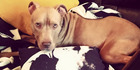 A campaign is being waged on the internet to save Hank, who was taken from his Belfast owner because he might be a 'pit bull.' Photo / Courtesy of Leonard Collins