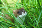 Kiwi researchers have just found a clever new way to use stoats' sniffing-power against them. Photo / Patrick Garvey