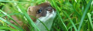 Kiwi killers targeted by sniff tests