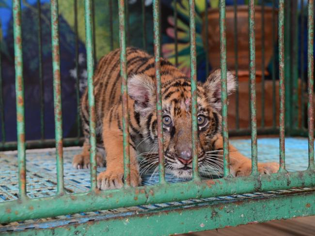 A young tiger kept in a cage. Photo / World Animal Protection