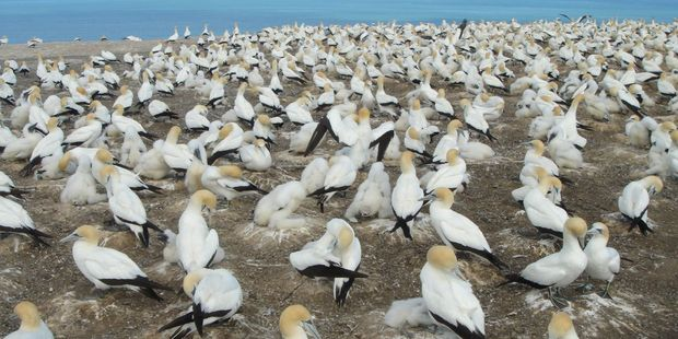 The gannet colony at Cape Kidnappers in the Hawkes Bay. Photo / Creative Commons image by Flickr user xxnu