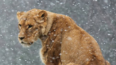 Lion attacks trainer at Quebec zoo
