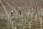 Pruners on a vineyard on Kirokipo Rd, SH50, Napier, in light wind, warm sun, cool winter's day. Photo / Hawke's Bay Today