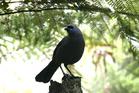 The Kokako bird. PHOTO/FILE