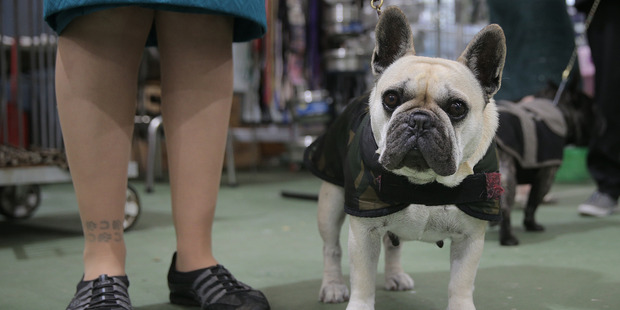 Dior, a French bulldog. Photo / Doug Sherring