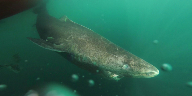 The Greenland shark can live up to ages of up to 400 years, researchers have found, making it the world's oldest vertebrate. Photo / Supplied