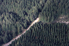 A huge harvest is predicted over the next decade as a multitude of small-scale forests are culled. PHOTO/FILE
