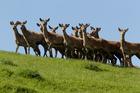 An American restaurant has paid a dear price for hocking off Kiwi deer meat as Alaskan reindeer. File photo / Warren Buckland