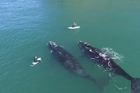 Sam Todd and Craig Latta get an up-close and personal experience with two whales at Second Beach Dunedin
