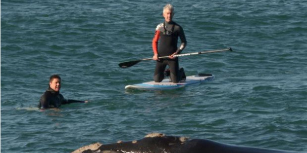 Loading Surfer Sam Todd and paddleboarder Craig Latta with a whale off the point at St Clair's Second Beach. Photo / Gerard O'Brien