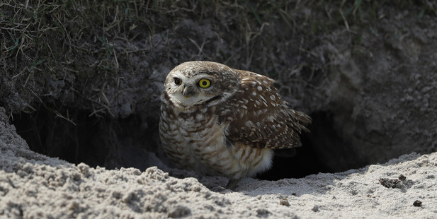 A corujas, an owl looks out from a burrow in a bunker on the ninth hole as practice continues for the men's golf event . Photo / AP