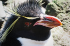 A rockhopper penguin on Campbell Island. Credit: David Thompson