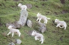 Lambs are being born at Cornwall Park as Spring arrives.