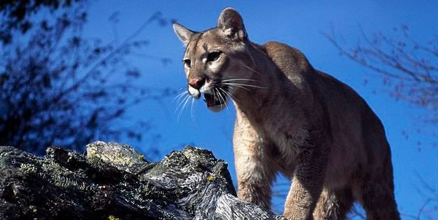 Mountain Lion sightings are very rare in Idaho. Even more so now the young female puma has been shot after the attack. Photo / Getty