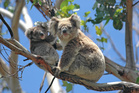 Travellers on the Great Ocean Road were thrilled to see koalas in the trees at Kennett River. Photo / 123RF