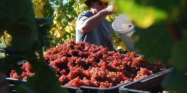 Misha's Vineyard in Central Otago.