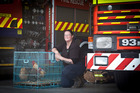 CLUCKING NUISANCE: Kelly Phelps of Free as a Bird rescued chickens dumped near the Greerton Fire Station. PHOTO/ANDREW WARNER