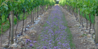 """Buckwheat and phacelia, or tansy leaf, are popular in vineyards for their """"Snap"""" properties."""
