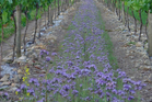 Buckwheat and phacelia, or tansy leaf, are popular in vineyards for their