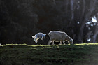 A lamb at Cornwall Park today, two weeks before the official start of Spring. Photo / Michael Craig