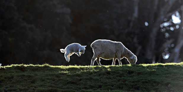 Loading A lamb at Cornwall Park today, two weeks before the official start of Spring. Photo / Michael Craig
