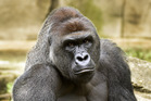 Harambe, a western lowland gorilla, was fatally shot May 28 to protect a 4-year-old boy who had entered his enclosure.