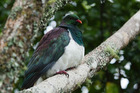 The kereru is a native New Zealand species protected under legislation. Photo / Supplied