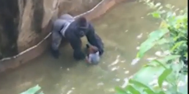 Harambe the silverback gorilla stands over a four-year-old boy that crawled into the gorilla enclosure at Cincinnati Zoo.