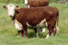 New Zealand's beef cattle herd increased by 2.8 per cent to 3.7 million during the 2015-16 season.